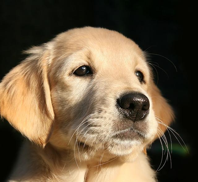 Cachorro de perro labrador